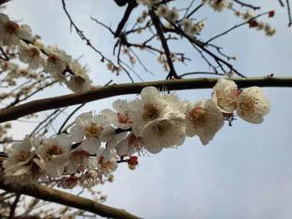 梅の花を撮るのは難しい