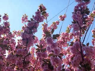 八重桜可愛いよね